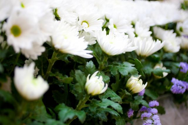 お葬式のお花について。何故、菊の花はお葬式のお花になったのか?